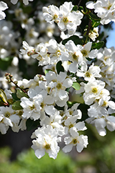 The Bride Pearlbush (Exochorda x macrantha 'The Bride') at Oakland Nurseries Inc