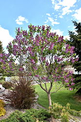 Sensation Lilac (Syringa vulgaris 'Sensation') at Oakland Nurseries Inc