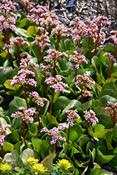 Pink Dragonfly™ Bergenia (Bergenia 'Pink Dragonfly') at Oakland Nurseries Inc
