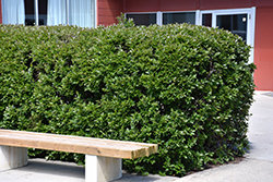 Hedge Cotoneaster (Cotoneaster lucidus) at Oakland Nurseries Inc