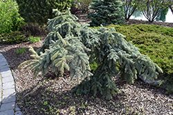Weeping Blue Spruce (Picea pungens 'Pendula') at Oakland Nurseries Inc