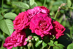 Children's Hope® Rose (Rosa 'WEKswegoba') at Oakland Nurseries Inc