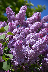 Common Lilac (Syringa vulgaris) at Oakland Nurseries Inc