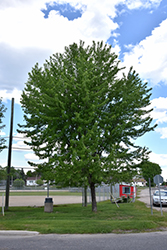 Silver Maple (Acer saccharinum) at Oakland Nurseries Inc