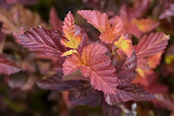 Center Glow Ninebark (Physocarpus opulifolius 'Center Glow') at Oakland Nurseries Inc