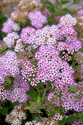 Little Princess Spirea (Spiraea japonica 'Little Princess') at Oakland Nurseries Inc