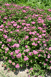 Double Play® Artisan® Spirea (Spiraea japonica 'Galen') at Oakland Nurseries Inc
