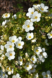 McKay's White Potentilla (Potentilla fruticosa 'McKay's White') at Oakland Nurseries Inc