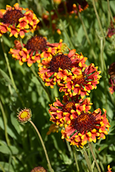 Fanfare Blanket Flower (Gaillardia x grandiflora 'Fanfare') at Oakland Nurseries Inc