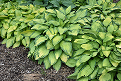 Paul's Glory Hosta (Hosta 'Paul's Glory') at Oakland Nurseries Inc