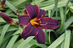 American Revolution Daylily (Hemerocallis 'American Revolution') at Oakland Nurseries Inc