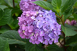 Bloomstruck® Hydrangea (Hydrangea macrophylla 'PIIHM-II') at Oakland Nurseries Inc