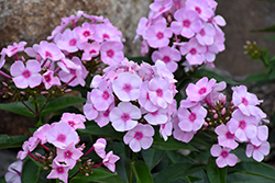 Cotton Candy™ Garden Phlox (Phlox paniculata 'Ditomfav') at Oakland Nurseries Inc
