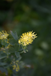 Common Meadow Rue (Thalictrum flavum) at Oakland Nurseries Inc