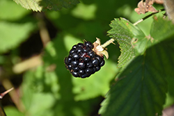 Jewel Black Raspberry (Rubus occidentalis 'Jewel') at Oakland Nurseries Inc