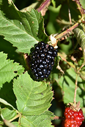 Chester Thornless Blackberry (Rubus 'Chester') at Oakland Nurseries Inc