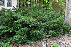 Ward's Yew (Taxus x media 'Wardii') at Oakland Nurseries Inc