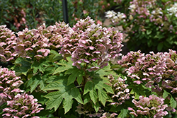 Oakleaf Hydrangea (Hydrangea quercifolia) at Oakland Nurseries Inc