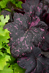 Midnight Rose Coral Bells (Heuchera 'Midnight Rose') at Oakland Nurseries Inc