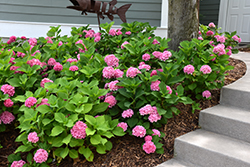 Let's Dance® Rhythmic Blue™ Hydrangea (Hydrangea macrophylla 'SMHMES14') at Oakland Nurseries Inc