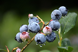 Blueray Blueberry (Vaccinium corymbosum 'Blueray') at Oakland Nurseries Inc