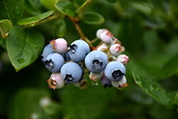 Elliott Blueberry (Vaccinium corymbosum 'Elliott') at Oakland Nurseries Inc