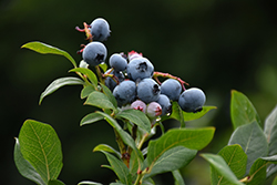 Northland Blueberry (Vaccinium corymbosum 'Northland') at Oakland Nurseries Inc