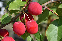 Dolgo Apple (Malus 'Dolgo') at Oakland Nurseries Inc