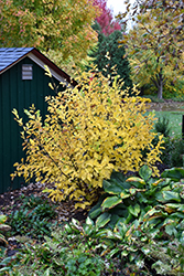 Vernal Witchhazel (Hamamelis vernalis) at Oakland Nurseries Inc