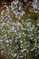 Dwarf Calamint (Calamintha nepeta) at Oakland Nurseries Inc