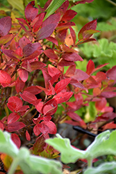 Jelly Bean® Blueberry (Vaccinium 'ZF06-179') at Oakland Nurseries Inc