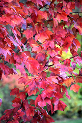 Red Maple (Acer rubrum) at Oakland Nurseries Inc