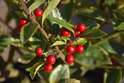 Honey Maid Meserve Holly (Ilex x meserveae 'Honey Maid') at Oakland Nurseries Inc