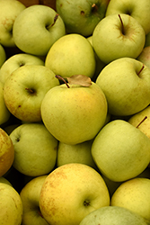 Golden Delicious Apple (Malus 'Golden Delicious') at Oakland Nurseries Inc