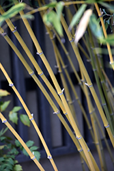 Bisset's Bamboo (Phyllostachys bissetii) at Oakland Nurseries Inc