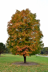 Sugar Maple (Acer saccharum) at Oakland Nurseries Inc