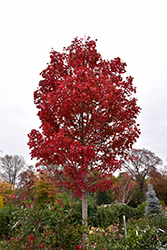 October Glory Red Maple (Acer rubrum 'October Glory') at Oakland Nurseries Inc