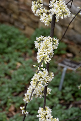 Vanilla Twist® Weeping Redbud (Cercis canadensis 'Vanilla Twist') at Oakland Nurseries Inc