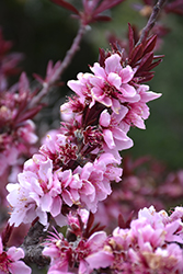 Bonfire Dwarf Ornamental Peach (Prunus persica 'Bonfire') at Oakland Nurseries Inc