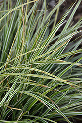 EverColor® Everest Japanese Sedge (Carex oshimensis 'Carfit01') at Oakland Nurseries Inc