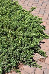 Blue Pacific Shore Juniper (Juniperus conferta 'Blue Pacific') at Oakland Nurseries Inc