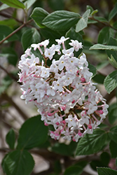 Judd's Viburnum (Viburnum x juddii) at Oakland Nurseries Inc