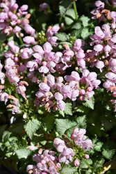 Pink Pewter Spotted Dead Nettle (Lamium maculatum 'Pink Pewter') at Oakland Nurseries Inc