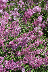 Bloomerang® Dwarf Pink Lilac (Syringa 'SMNJRPI') at Oakland Nurseries Inc