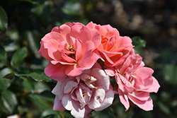 Coral Knock Out® Rose (Rosa 'Coral Knock Out') at Oakland Nurseries Inc
