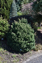 Blue Feathers Hinoki Falsecypress (Chamaecyparis obtusa 'Blue Feathers') at Oakland Nurseries Inc